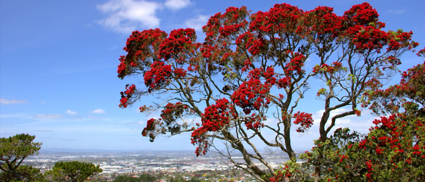 New Zealand Holiday Trivia   Saving Kiwi Christmas   Grand Circle Travel
