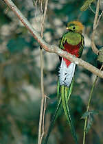 Discover the Resplendent Quetzal in Costa Rica's forest