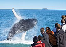 View whales during a tour of Iceland