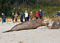 Witness the massive scale of elepahant seals while touring Ainsworth Bay
