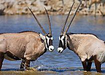 See antelopes while on safari in Namibia