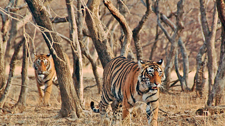 View India's wildlife while on safari in Ranthambore National Park